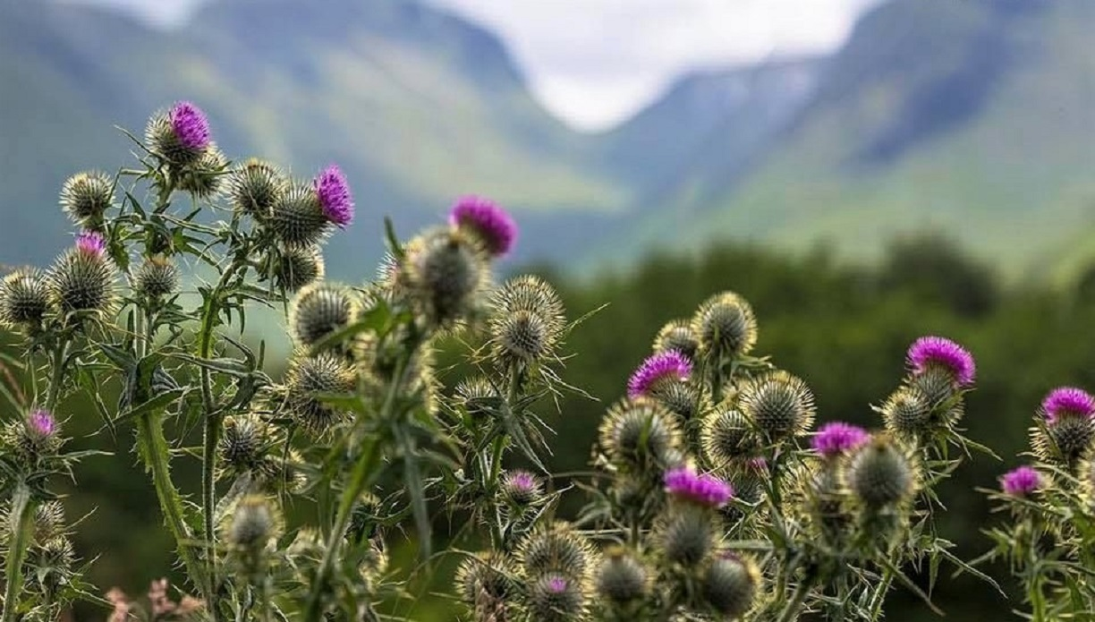 Highland Thistles in Bloom